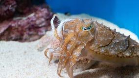 在日本的水族馆,太阳亮光城市的乌贼 免版税库存图片
