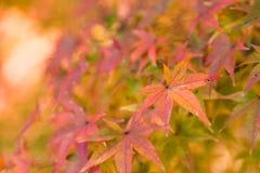 在日本秋天季节的桔子叶子 库存图片