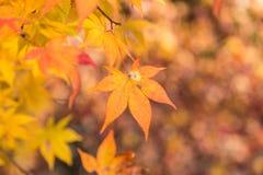 在日本秋天季节的橙色槭树叶子 库存图片