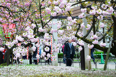 在日本薄菏,大阪的樱花 免版税库存照片