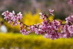 在日本hanamiyama的桃红色樱花banqute 免版税库存照片