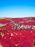 在日立海滨公园的红色地肤 免版税图库摄影