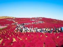 在日立海滨公园的红色地肤 库存照片
