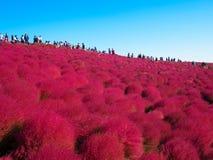 在日立海滨公园的红色地肤 库存图片
