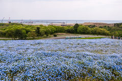 在日立海滨公园的蓝色Nemophila 库存图片