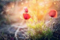 在日落光、庭院或者pakr自然背景的美丽的鸦片灌木 免版税库存照片