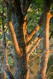 在日落光下的树干 免版税图库摄影