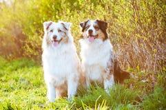 在日落光的两只澳大利亚牧羊犬 库存图片