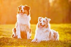在日落光的两只澳大利亚牧羊犬 库存照片