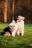 在日落光的两只澳大利亚牧羊犬 图库摄影