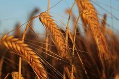 在日落光的大麦 库存图片