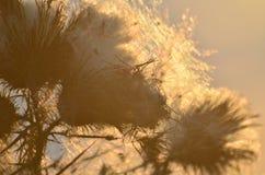 在日落光的干杂草 库存图片