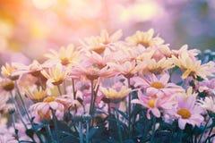 在日落光的春黄菊花 免版税库存照片