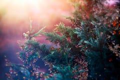 在日落光的杉树 图库摄影