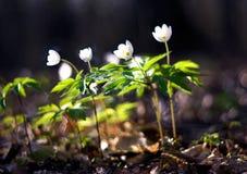 在日落光的白色银莲花属 免版税库存照片