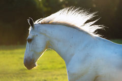在日落光的白马画象 库存照片