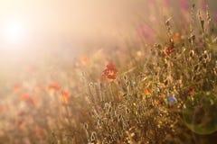在日落光的野生鸦片 库存照片