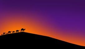 在日落光的骆驼  免版税库存照片