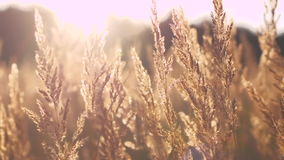 在日落光的黄色干草 股票视频