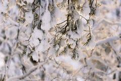 在日落光芒的冰冷的杉木枝杈  免版税图库摄影