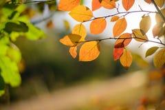 在日落光芒的秋叶  免版税库存照片