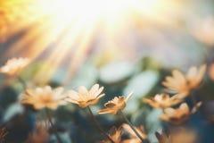 在日落光,狂放的室外自然的黄色小的花 免版税图库摄影