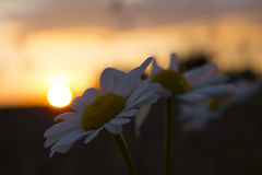 在日落前面的花 免版税库存照片