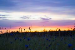 在日落前面的Cornflowerfield 免版税图库摄影