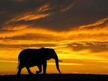 在日落剪影的非洲大象 库存图片