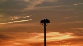 在日落和一只幼鸟的白鹭的羽毛的巢安定它的排汇物 股票视频
