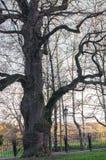 在日落天空背景的古老橡木树在早期的春天 Kolomenskoye庄园博物馆,莫斯科 库存图片