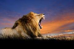 在日落天空背景的狮子  免版税图库摄影