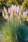 在日落太阳光的南美大草原装饰草 免版税图库摄影