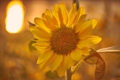 在日落时间的向日葵 与太阳的反射的向日葵在背景中 免版税库存照片