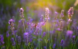 在日落时间的淡紫色领域 域开花紫色 免版税库存照片