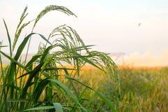 在日落时间的绿色米麦子 免版税库存照片
