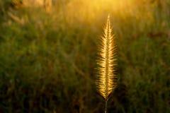 在日落时间的1亚洲野草花 图库摄影