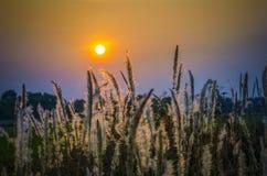 在日落时间的野草 免版税库存照片