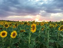 在日落时间背景的向日葵收获 免版税库存照片
