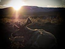 在日落期间的一rendeer在北部蒙古语的taiga 免版税库存照片