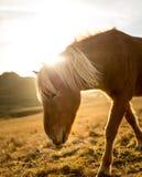 在日落期间的冰岛马在南部的冰岛海岸-冰岛小马 库存图片