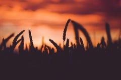 在日落期间的剧烈的天空与麦子耳朵剪影在前面的 回到光 免版税库存图片