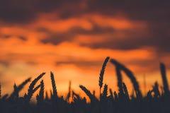 在日落期间的剧烈的天空与麦子耳朵剪影在前面的 回到光 库存照片