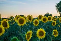 在日落期间的向日葵在意大利 库存图片