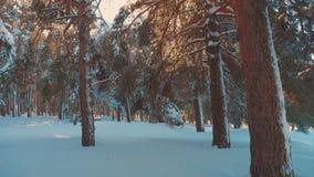 在日落期间的意想不到的冬天风景 冬天杉木雪阳光运动的太阳森林 冻结的生活方式 股票录像