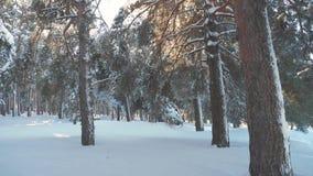 在日落期间的意想不到的冬天风景 冬天杉木雪阳光运动的太阳森林 冻结的霜 影视素材
