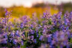 在日落期间的紫色草甸花 免版税图库摄影