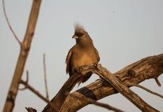 在日落期间被栖息的有斑点的mousebird 免版税库存图片