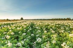 在日落期间,调遣与白色开花的土豆植物 免版税库存图片
