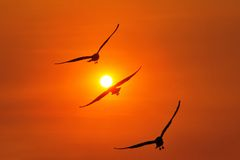 在日落期间的三倍海鸥 免版税图库摄影